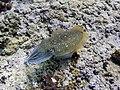 Cuttlefish (207959649).jpeg
