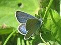 Cyaniris semiargus ♂ - Mazarine blue (male) - Голубянка лесная (самец) (27161830108).jpg