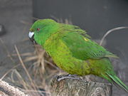 A green parrot with a light-green underside