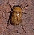 Cyclocephala P1000422a.jpg