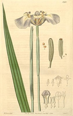 Blaues Becherschwertel (Cypella coelestis)