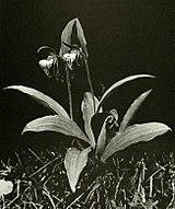 Cypripedium arietinum WFNY-f005.jpg
