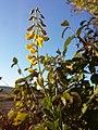 Cytisus nigricans (subsp. nigricans) sl18.jpg