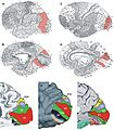 Cytoarchitecture Visual cortex.jpg