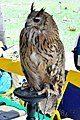 D85 1806Siberian Eagle Owl Photographed by Trisorn Triboon.jpg