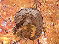 DSC03204 - wasp colony - paper pulp nest on maple tree near Maple Lake boating center - IL Rt-171 and 95th St 2008Oct21.JPG