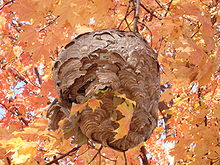 A paper pulp nest on maple tree