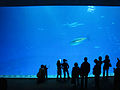 DSC26492, Monterey Bay Aquarium, California, USA (4858411623).jpg