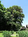 DWHV09 Ulme (Ulmus carpinifolia).jpg
