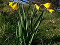 Daffodil (Narcissus sp.) (5507928928).jpg
