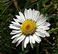 Daisy Gänseblümchen.JPG