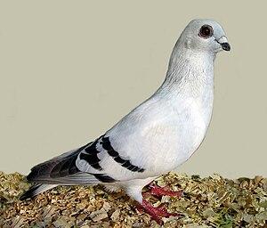 Damascene pigeon - Barred Damascene
