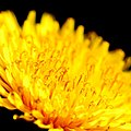 Dandelion, high contrast, side view (8734027654).jpg