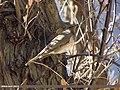 Dark-throated Thrush (Turdus ruficollis) (15868431956).jpg