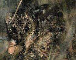 Dasyurus hallucatus -Queensland-8.jpg