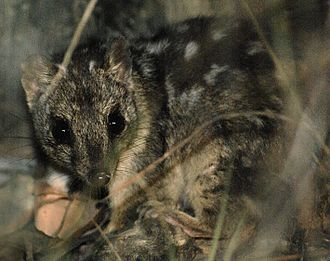 Wildlife Preservation Society of Queensland - Northern quoll, 2009