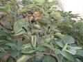 Datura innoxia fruit02.jpg