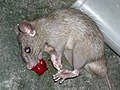 Dead rat blood.JPG