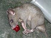 Rat - Wikipedia