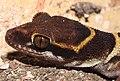 Deccan Banded Gecko Geckoella deccanensis by Dr. Raju Kasambe DSCN8911 (4).jpg