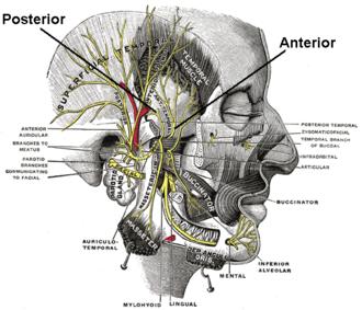 Deep temporal nerves - Mandibular division of the trigeminal nerve.