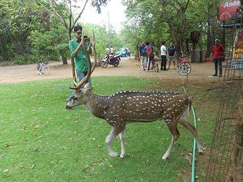 Deer Roaming outside the mess of IIT Madras.jpg