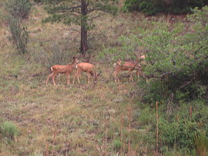 Cimarron Canyon State Park - Image: Deer at Cimarron Canyon State Park (NM) Picture 1991