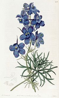 Delphinium grandiflorum 472
