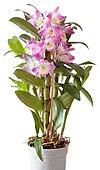 Dendrobium Starclass nobilé (aka).jpg