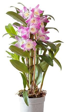 Dendrobium Starclass nobilé (aka)