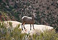 Desert bighorn sheep often blend into their surroundings, but can be spotted by the careful eye. (85bbee9e-46ae-436d-afbc-31eddcbf973f).jpg