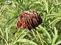 Desmanthus illinoensis pods.JPG
