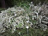 Deutzia-gracilis-slender-deutzia-0a.jpg