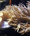 Devil's hand coral (Lobophytum spec.).jpg