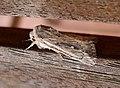 Devonshire Wainscott. Mythimna putrescens (33138087591).jpg