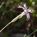 Dianthus broteri subsp. valentinus 02.JPG
