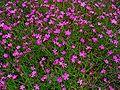 Dianthus deltoides 001.JPG