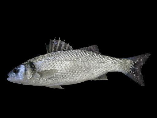 Dicentrarchus labrax (Belgium)