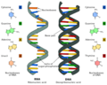Difference DNA RNA-EN.png