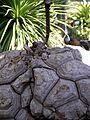 Dioscorea mexicana.jpg