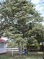 Diospyros virginiana L. (AM AK330354-3).jpg