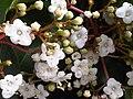 Dipsacales - Viburnum tinus 1.jpg