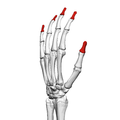 Distal phalanges of the hand (left hand) 04 radial view.png