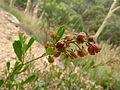 Dodonaea viscosa (5368400889).jpg