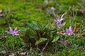 Dog's Tooth Violet - geograph.org.uk - 1204803.jpg