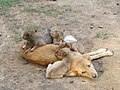 Dog and pups - Begur - Butterfly Survey - Wayanad 03.jpg
