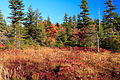Dolly-sods-moon-trees - West Virginia - ForestWander.jpg