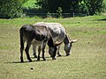 Donkeys grazing - geograph.org.uk - 515337.jpg
