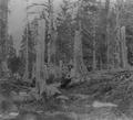 Donner tree stumps1.tif