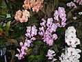 Doritaenopsisjf9370 02.JPG